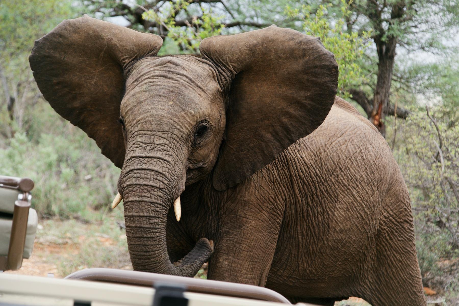 Elephant showing off!